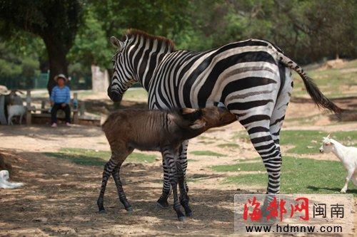当斑马爱上驴 海沧野生动物园诞生