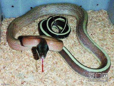 黑眉锦蛇生吞老鼠被人发现受惊又吐出来