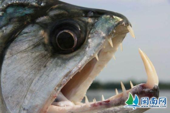 食人鱼被誉为世界上最凶猛的鱼.它们用剃刀般锋利的牙齿捕食.-黑
