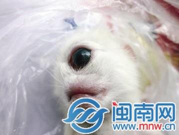 """四川内江""""天眼猫"""":没有鼻子仅额头正中一只眼(图)图片"""