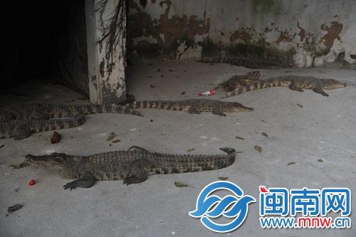 泉州东湖动物园蟒蛇和鳄鱼将冬眠 市民赏鳄得趁早