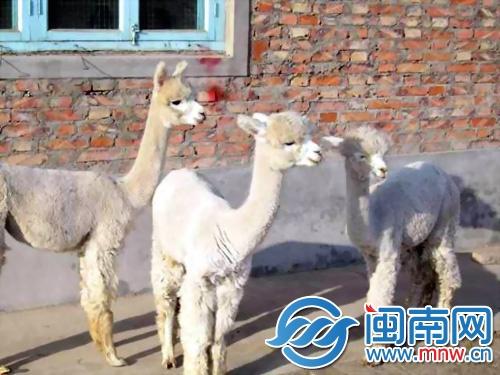 """3神兽草泥马羊驼""""驾临""""海沧野生动物园(图)"""