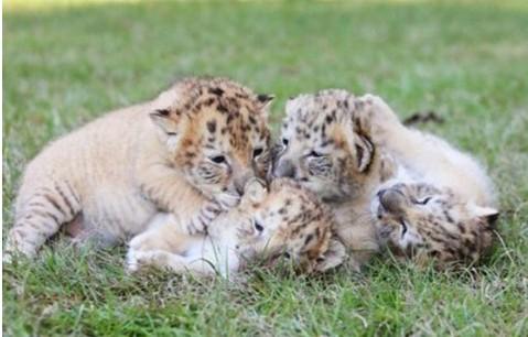 小白狮虎兽们已经重约7公斤