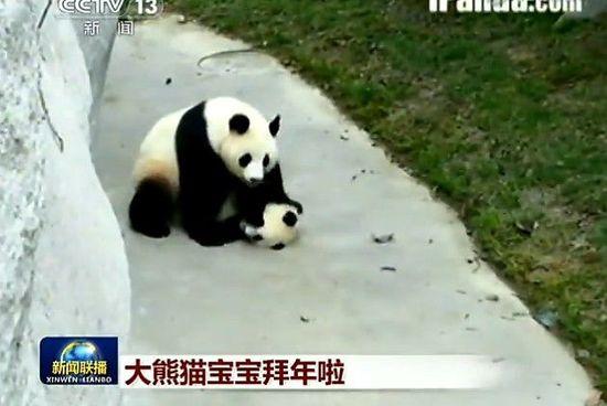 新闻联播 史上最萌结尾 4只熊猫拜年高清图片