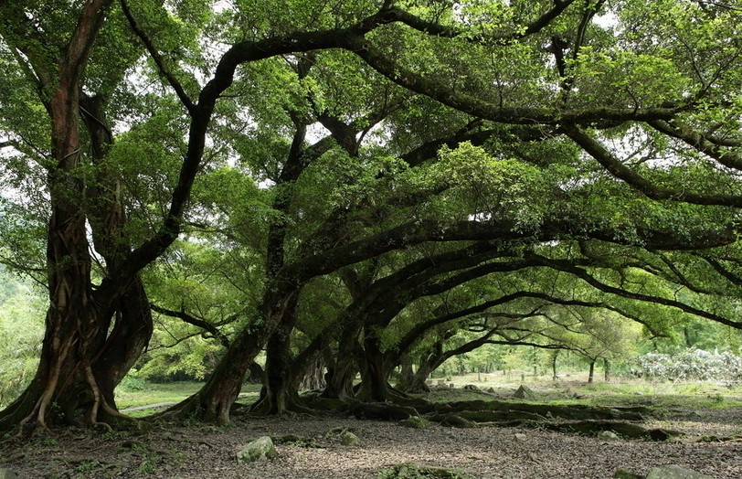 福州市树榕树特征介绍 象征福州人进取奋发精神