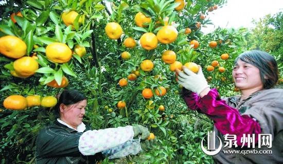 果农在采摘芦柑