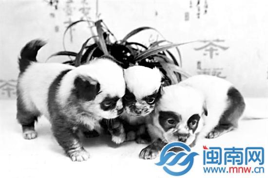 """""""熊猫狗""""惊现江苏盐城 黑眼圈黑耳朵吃竹叶(图)"""