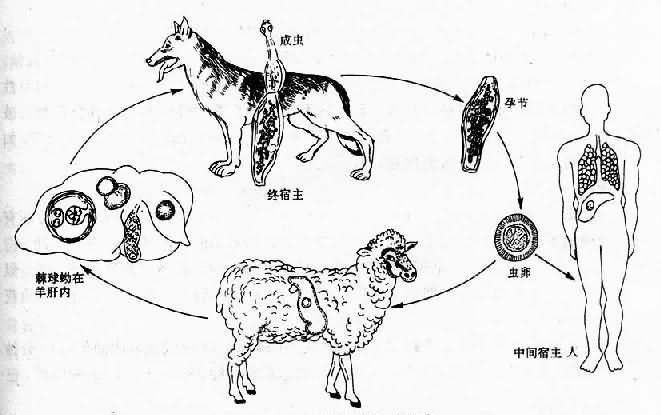 棘球蚴原頭蚴手繪圖