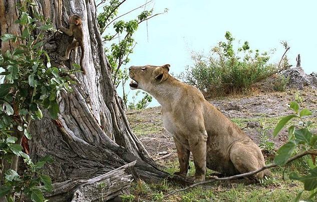 狒狒父亲狮子口下勇救幼崽_狒狒父亲狮子口下勇救幼崽1