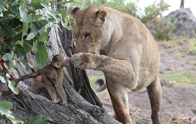 狒狒父亲狮子口下勇救幼崽_狒狒父亲狮子口下勇救幼崽2