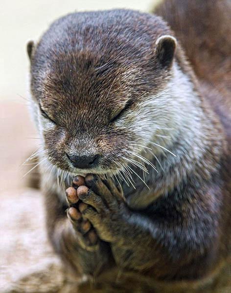 小水獭竟然双手合十作祈祷状