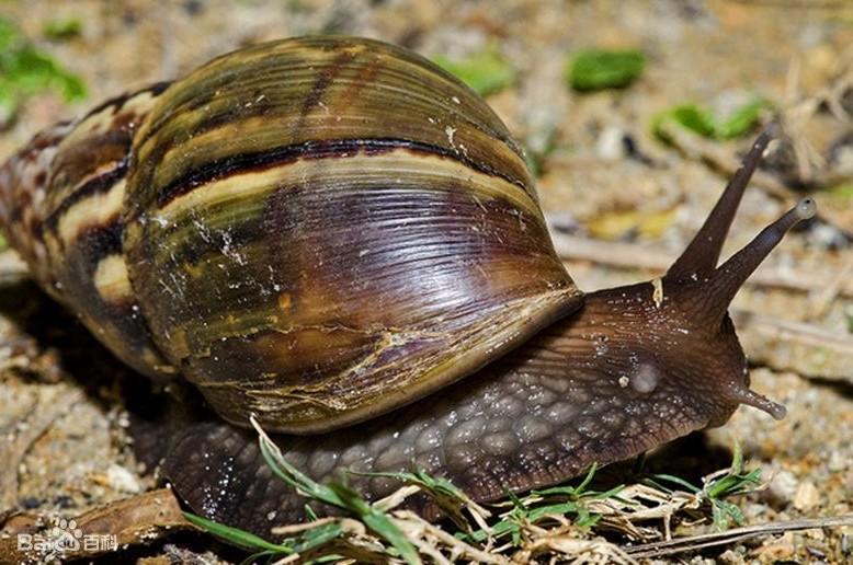 非洲大蜗牛感染法餐饥荒v蜗牛可不是脑膜炎女王蜗牛三级槽怎么变蜘蛛图片