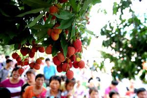 第二届中国岵山荔枝文化节开幕 永春荔枝等八方游客来品尝