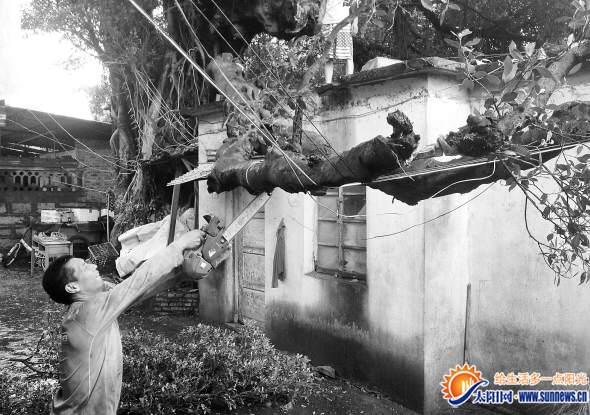 """420岁老榕树遭雷击""""断臂"""" 砸在电缆线上(图)"""